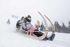 Tradiční zimní závody na historických rohačkách v Malé Úpě