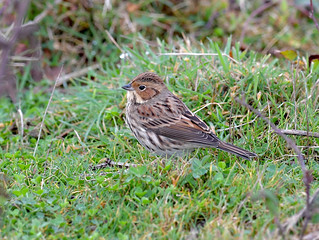 Little Bunting