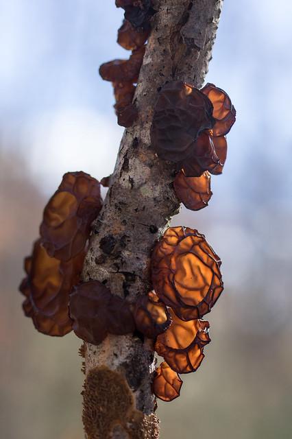 Amber Jelly Fungus