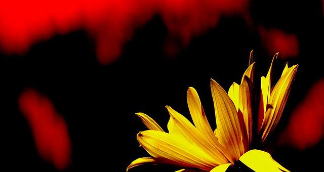 Słonecznik bulwiasty.
