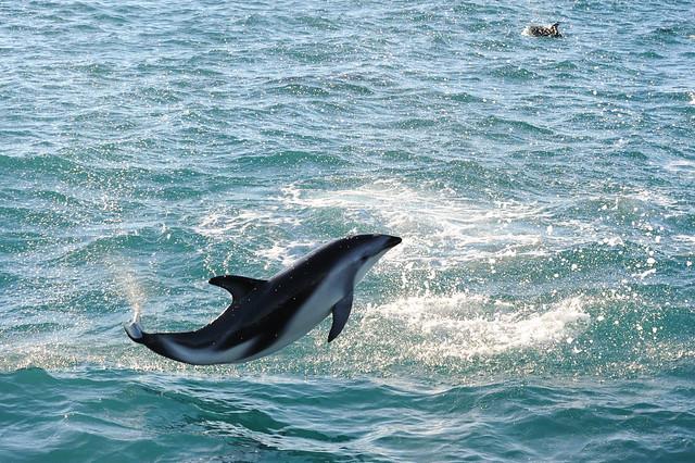 Dusky dolphin acrobatics 4, Nikon D700, AF VR Zoom-Nikkor 80-400mm f/4.5-5.6D ED