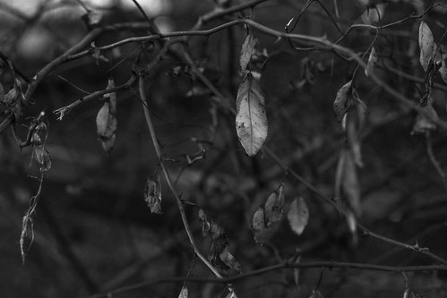 leaves driedleaves branches winterlandscape asheville northcarolina nikond3300 mamiyasekkor45mmf28 mamiyaprime primelens blackandwhite monochrome monochromatic landscape dusk