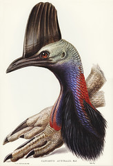 Australian Cassowary (Casuarius australis)illustrated by Elizabeth Gould (1804–1841) for John Gould's (1804-1881) Birds of Australia (1972 Edition, 8 volumes). Digitally enhanced from our own facsimile book (1972 Edition, 8 volumes).