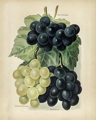 The fruit grower's guide  : Vintage illustration of grape
