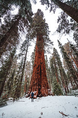 The Mighty Sequoia