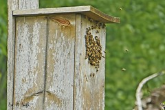 Bees take over a birdhouse