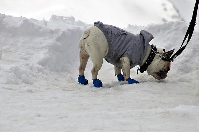 冬に靴を履いて散歩をする犬
