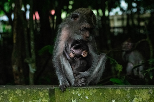 macaque of monkey temple-10