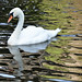 Swan ....