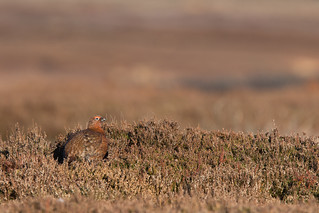 Red Grouse (Lagopus lagopus) | by Wildlife Photography by Matt Latham