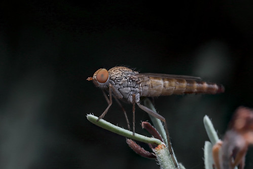 Therevid fly