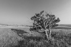 Badlands Tree