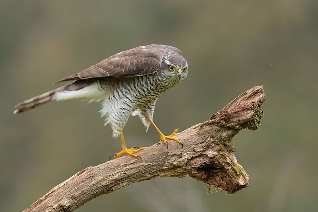 Sparrow hawk, Canon EOS-1D X, Canon EF 500mm f/4L IS II USM