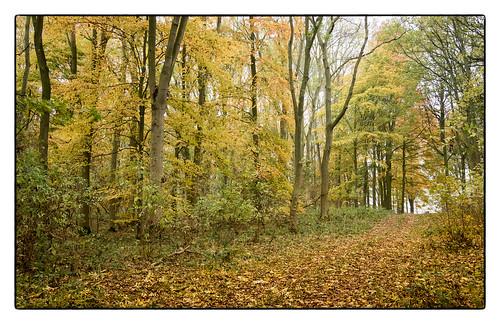 Beech Wood 2.