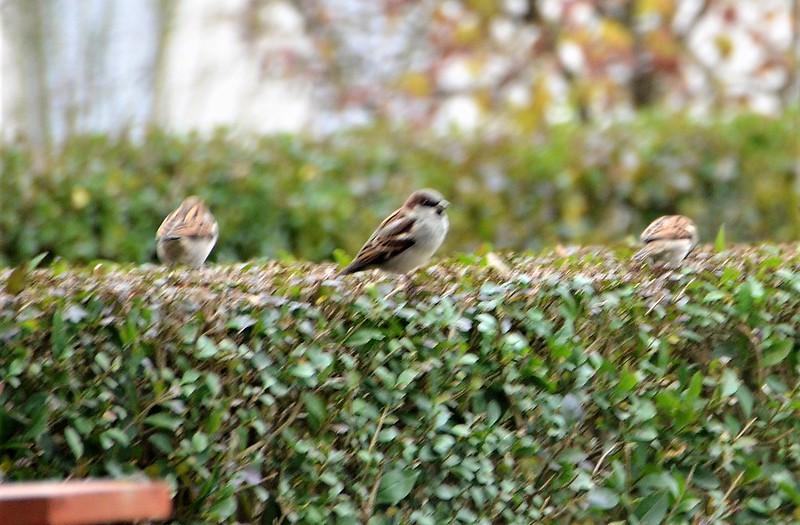 Sparrows 16.11.2018