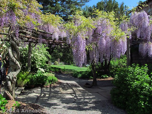Wisteria at the Willowwood Arboretum, Morris County, New Jersey