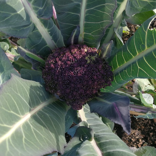 violet cauliflower