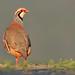 Perdiz comum - Red legged partridge - Alectoris rufa by rio.alva