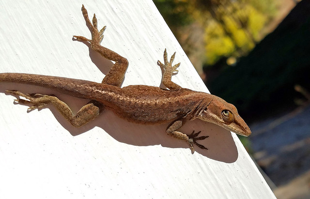 ha - this one bites!  ...  a November anole
