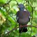 33 Wood Pigeon.