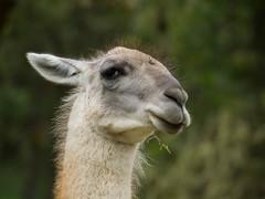 Untrusting llama