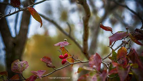 Fall Dogwood Berries