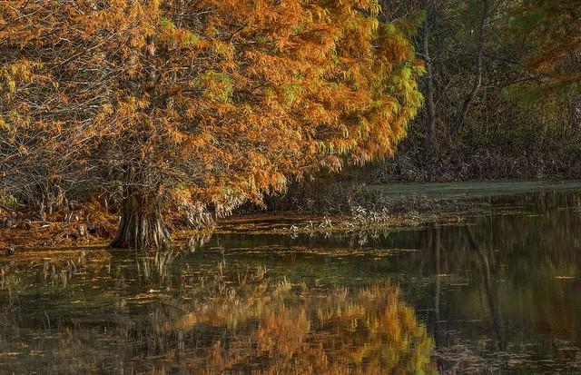 Cypress fall