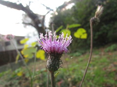 Thistle in Koishikawa Botanical Garden