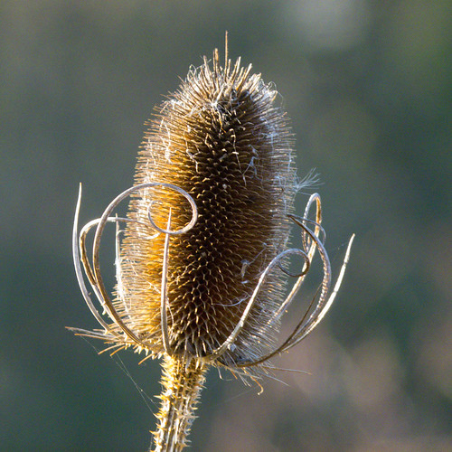 Teazle, lightly frosted, sidelit