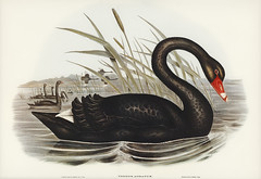 Black Swan (Cygnus atratus) illustrated by Elizabeth Gould (1804–1841) for John Gould's (1804-1881) Birds of Australia (1972 Edition, 8 volumes). Digitally enhanced from our own facsimile book (1972 Edition, 8 volumes).