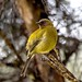 New Zealand native Bellbird  2729 by stan sutton