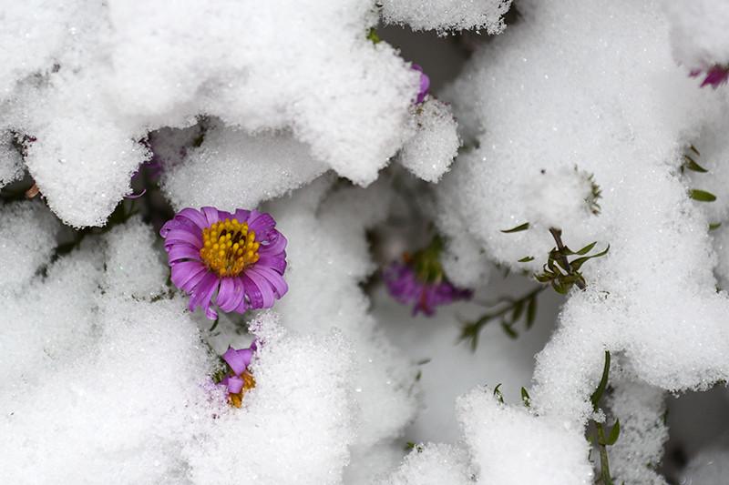 цветы в снегу 14