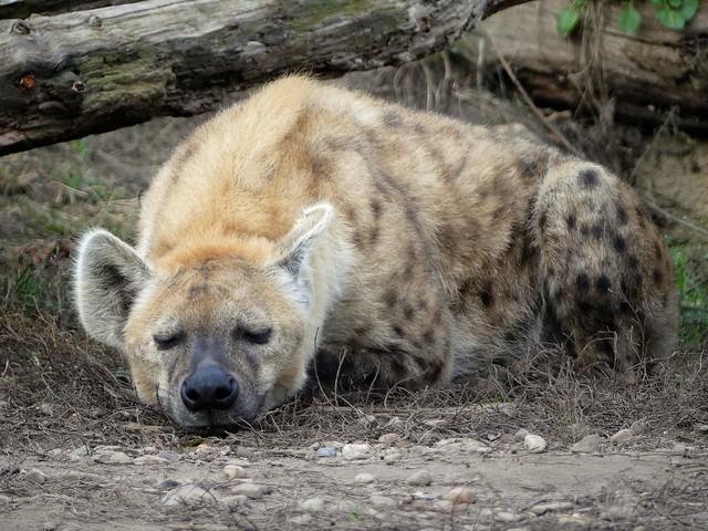 Zoo Osnabrück - Tüpfelhyäne