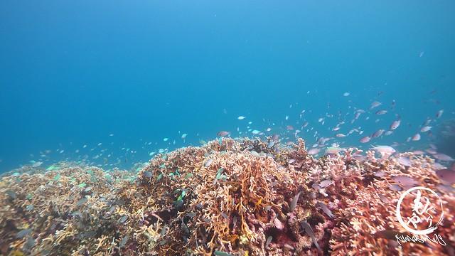 サンゴとスズメダイたち。