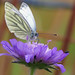 Dark Veined White Butterfly