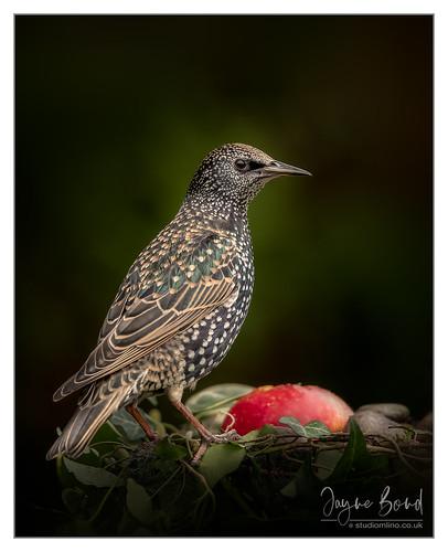 Starling-30.12.18_54I2341