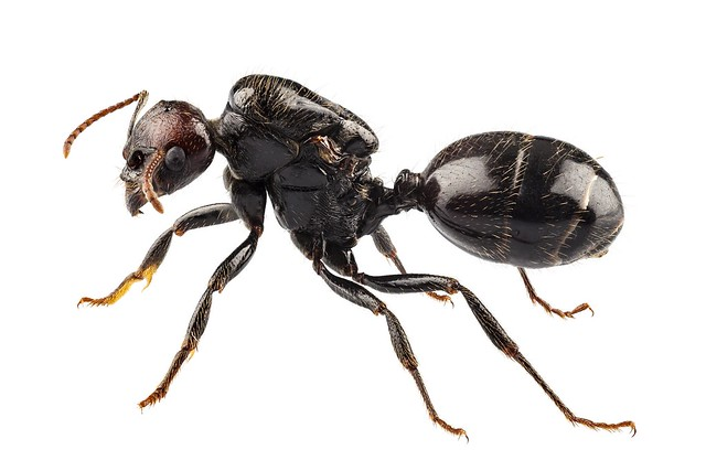 The most common species of ants in the UK are the Garden Ant, Pharoah Ant, Roger's Ant and the Ghost Ant. Females are Larger than males. A queen ant can live longer than any other insect. Ants go through four stages of development: egg, larva, pupa and ad