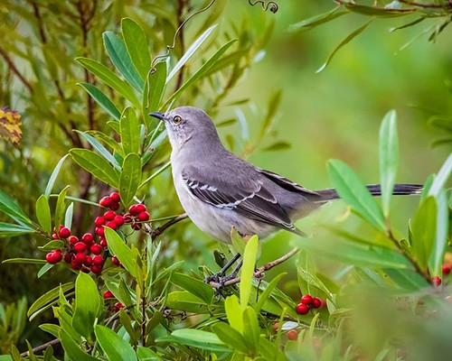instagram ifttt birdphotography birds northernmockingbird mockingbird florida floridastateparks thrushes naturephotography nature wildlifephotography wildlife