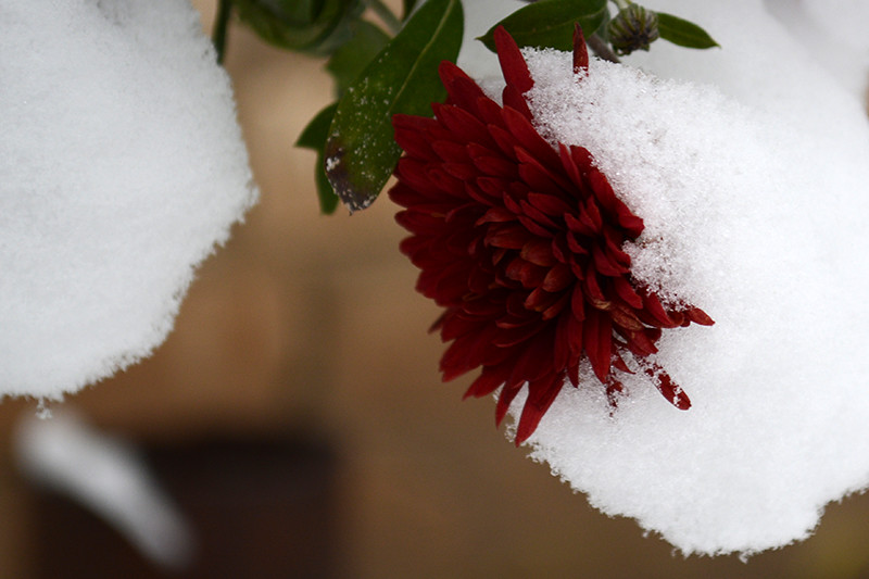 цветы в снегу 21