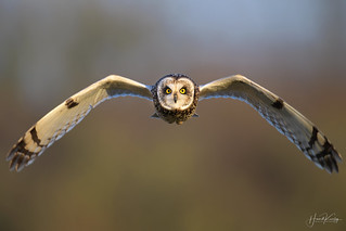 Short Eared Owls continue to hunt me down.