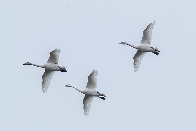 TUNDRA SWANS, Canon EOS-1D X MARK II, Canon EF 600mm f/4.0L IS II USM