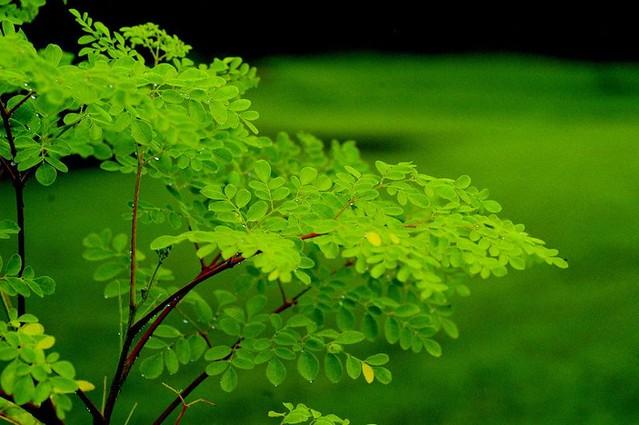 Assentados do MST cultivam e comercializam planta medicinal, rica em nutrientes e que purifica a água - Créditos: Moringa Oleifera - Vida e Saúde | Facebook