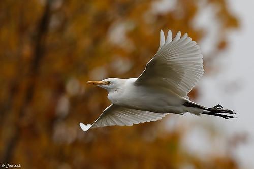 Héron garde-boeufs (Bubulcus ibis) - Western Cattle Egret
