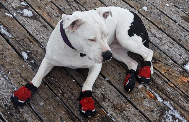 冬の散歩でケガをしないように靴を履く犬