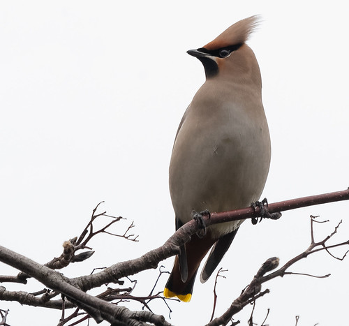 My first Waxwings, sadly in poor light