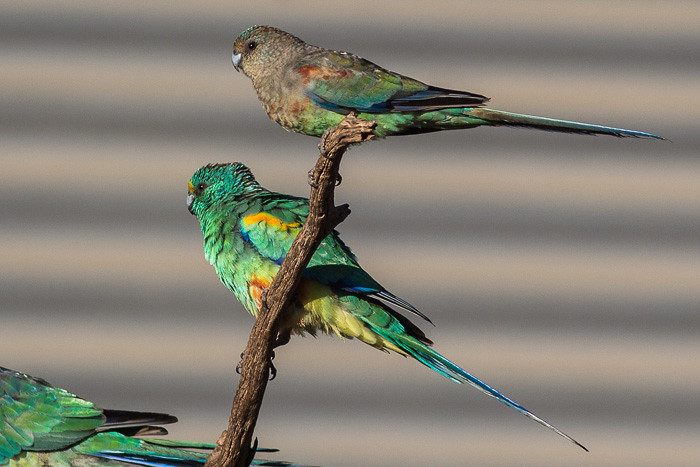 Mulga Parrot  - male and female