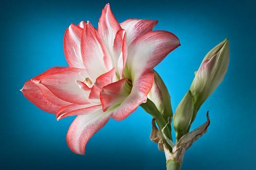 Amaryllis belladonna. Young pink flower over deep blue background. Closeup.