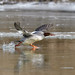 Common Merganser by Photos By JM