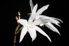 [Okinawa, Japan] Dendrobium okinawense (North Okinawa) Hatus. & Ida, J. Geobot. 18: 77 (1970)