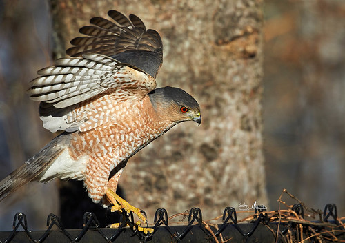 Cooper's Hawk getting defensive with advancing squirrel